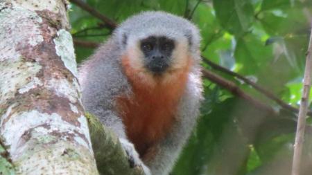 Nova espécie de macaco é descoberta a partir de programa de monitoramento da Usina Teles Pires